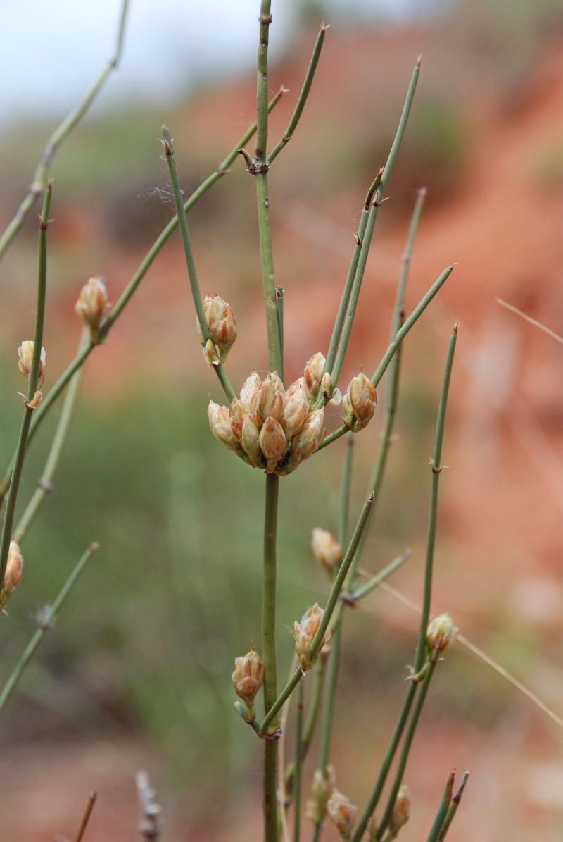 stem of ephedra